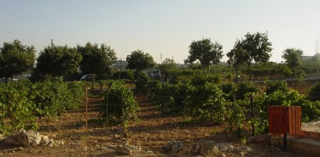 Vineyards and Orchards in Gush Etzion Today